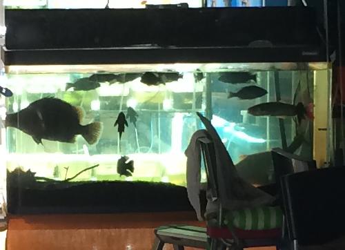 ヒヨコ長屋の血統魚